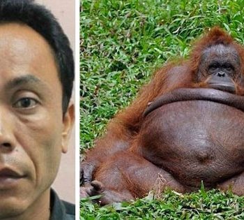 Indonesian Zoo Keeper Accused Of Impregnating A Female Ape.